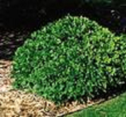 Natures Design Plant Material Evergreen Shrubs
